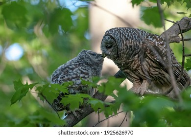 Mother barred owl and her owlet on a branch in the forest. The baby had just left the nest for the first time and was rewarded with food and affection from its mother.