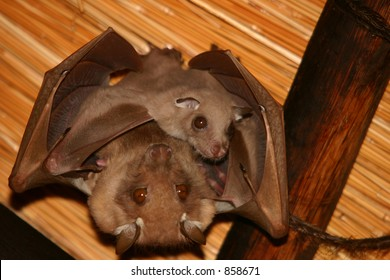 Mother bat hanging with baby