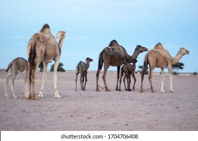mother and baybe camel grazing in sahara