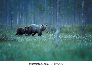 Mother bear with bear cub between trees of tiaga and blossoming grass carefully watching surroundings in arctic white night