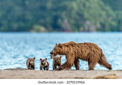 Mother bear fishing for her puppies - Kamchatka, Russia. During the summer months on the Kurile Lake bears  are committed to catch salmon all day. Particularly mothers also fishing for their puppies.