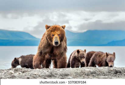 Mother bear and three puppies - Kamchatka, Russia.