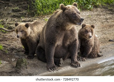 Mother bear and two small cubs fishing on river in wildlife