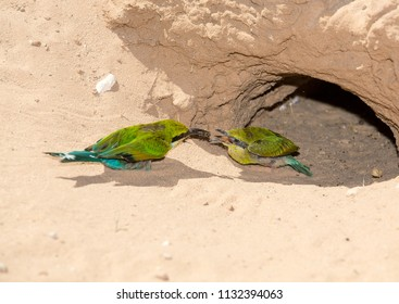 A mother bee-eater feeding her baby an inspect which she just caught.