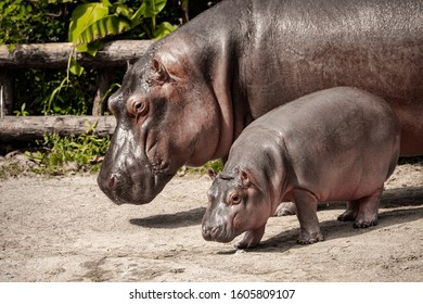 mother big hippopotamus with a cub, with a small hippopotamus, her child, lovely baby