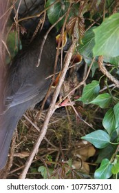 Mother Bird with her chicks in her nest with ivy