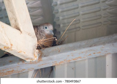 Mother bird nest in hatching eggs.peaceful dove in home