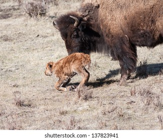 Mother bison trying to get her newborn to walk