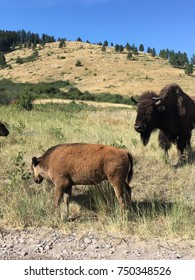 A mother bison watches her calf at the National Bison Range in Montana.