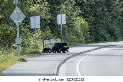 Mother Black bear with cubs getting ready to cross the road near Juneau Alaska in the summer.