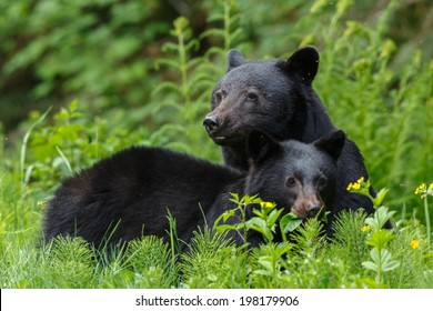 Mother black bear and her one year old cub