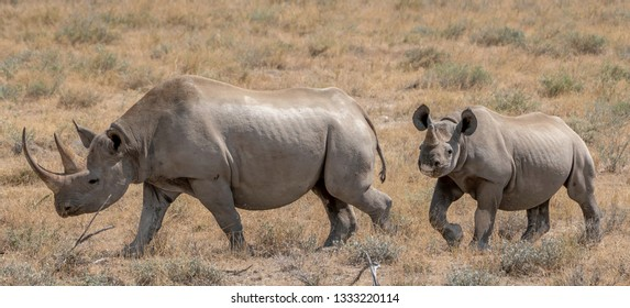 A mother Black Rhino and calf in Etosha National Park, Namibia