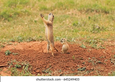 Mother Black Tailed Prairie Dog sounding alarm as baby watches and learns.  Caprock Canyon State Park in High Plains of Texas Panhandle.