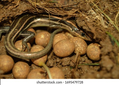 Mother blue tailed skink protecting her nest of eggs and hatchlings