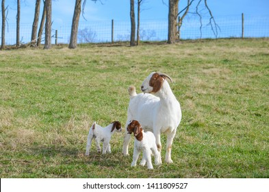 A mother  Boer doe, female,  and her  twin  kids a week old out on pasture enjoying  a warm  summer day and  green grass on a farm in the United states.