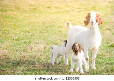 A Mother Boer Goat and her twin kids one week old stand by her side on a warm summer day on green pasture on  a rural farm in Virginia in the United states.