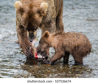 Mother brown bear with cub eating salmon in the river. USA. Alaska. Katmai National Park. An excellent illustration.