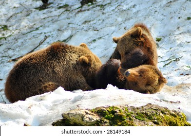 a mother brown bear lying on her back in the snow, suckling her two cubs which are roughly 2 years old