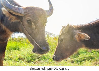 Mother buffalo and calf stand staring, with love