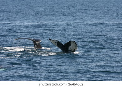 Mother and Calf Humpbacks diving at the same time