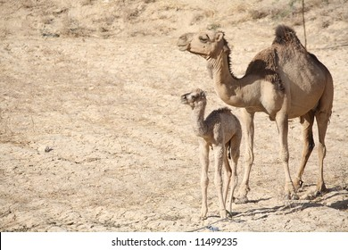 Mother camel with baby
