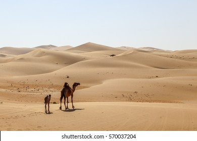 Mother camel with her calf walking through the desert dunes. Liwa oasis area, Emirate of Abu Dhabi, United Arab Emirates