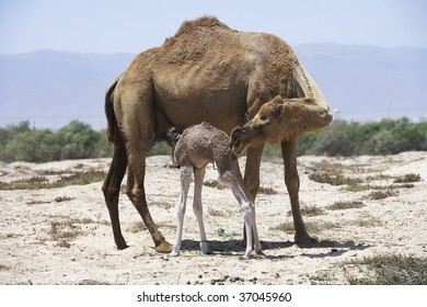 mother camel and her new born baby