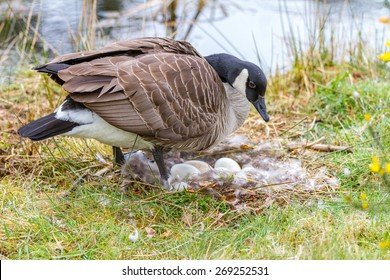 Mother Canada Goose sitting on a nest incubating her eggs beside the lake.