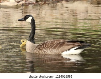 Mother Canadian goose with a single gosling swimming in pond in spring.