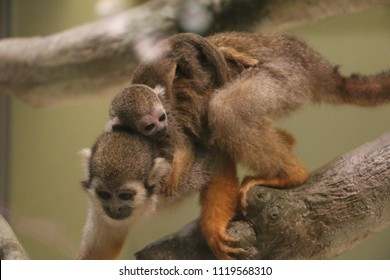 A mother capuchin monkey in a tree with a baby capuchin on her back.