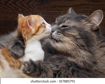 Mother cat kitten kisses. Cat hugs kitten and presses his face to the kitten. Cat tightly holding the baby kitten. The cat is gray, fluffy. The kitten is small, white and red. Family of cats.