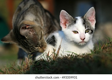 Mother Cat Licking Small Black And White Kitten In Grass On A Farm In The Mountains Of South West Virginia