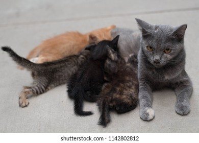 Mother cat nursing kittens and looking at camera.
