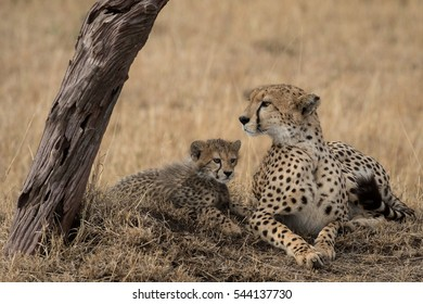 Mother and Cheetah cub taking shade under a tree taken in Kenya.