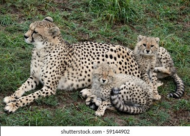 Mother cheetah on the lookout with two young cubs