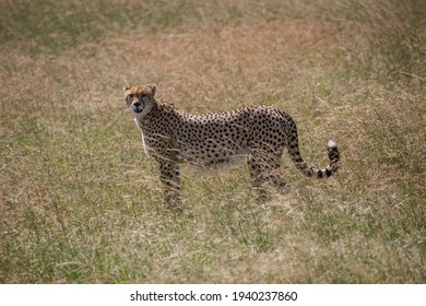 Mother Cheetah searching for the pray in Serengeti NP