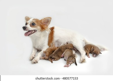 Mother Chihuahua and her puppies