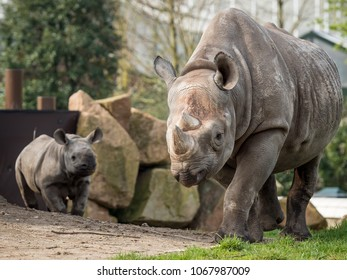 Mother and child black Rhino walking towards the camera in the Zoo (Blijdorp Rotterdam). Diceros bicornis, black rhinoceros,