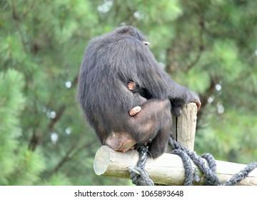Mother & Child Chimpanzee