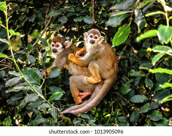 Mother and child of Common squirrel monkey, small primate native to the tropical areas of South America