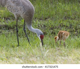 mother and child crane eating dinner