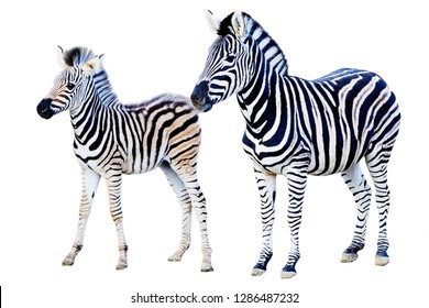 Mother and child foal zebra isolated on white background