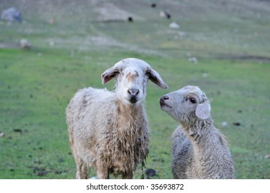 Mother & Child Sheep