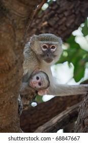 Mother and child Vervet Monkey, Okavango Delta, Botswana