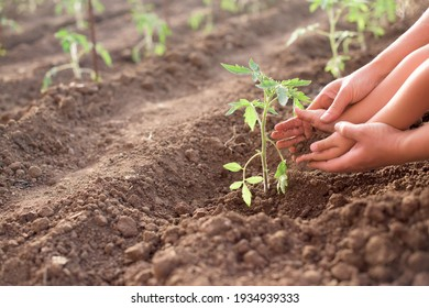 Mother and child working in the garden- Newly planted tomato plant in a vegetable garden in the spring