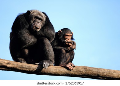 a mother chimp with her baby