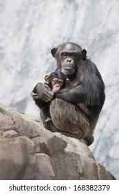 Mother Chimpanzee and her baby chimp