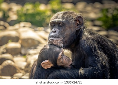 A mother Chimpanzee holding onto her baby chimp