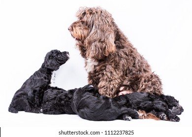 mother cockerpoo with puppies on white background
