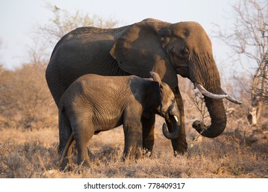 mother cow and calf of an african savanna elephant nursing and giving her comfort
